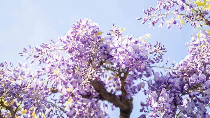 「平等院」の紫藤の画像2