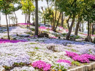 芝桜の画像1