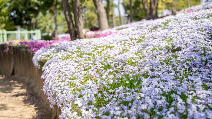芝桜の画像3