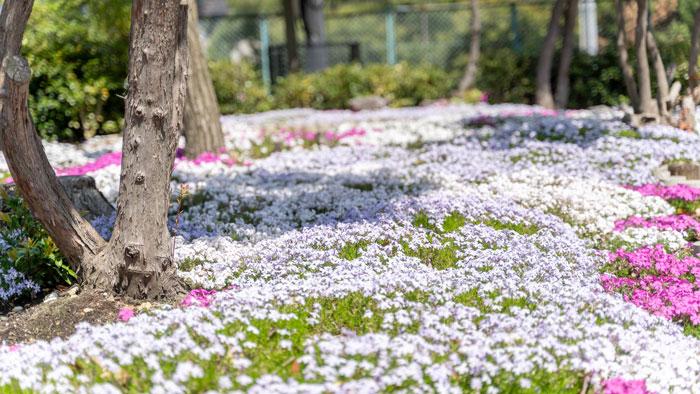 芝桜の絨毯の画像