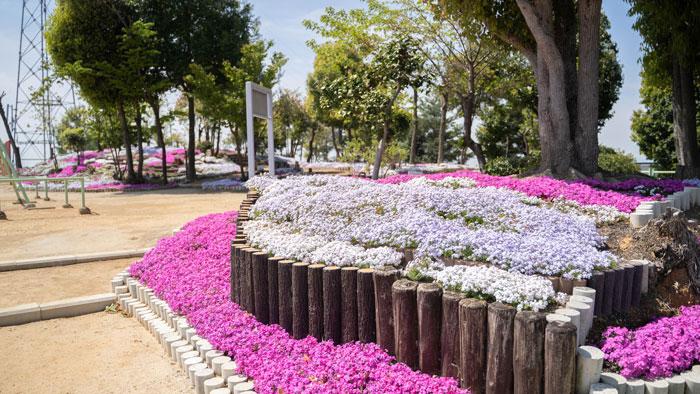 芝桜の画像2