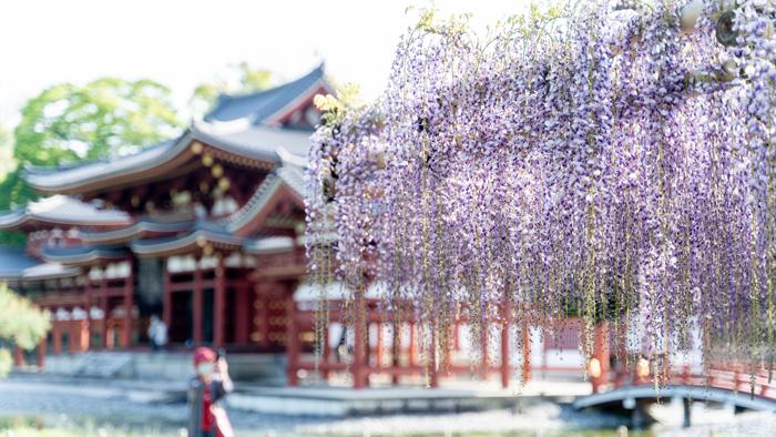 平等院鳳凰堂と藤の花の画像