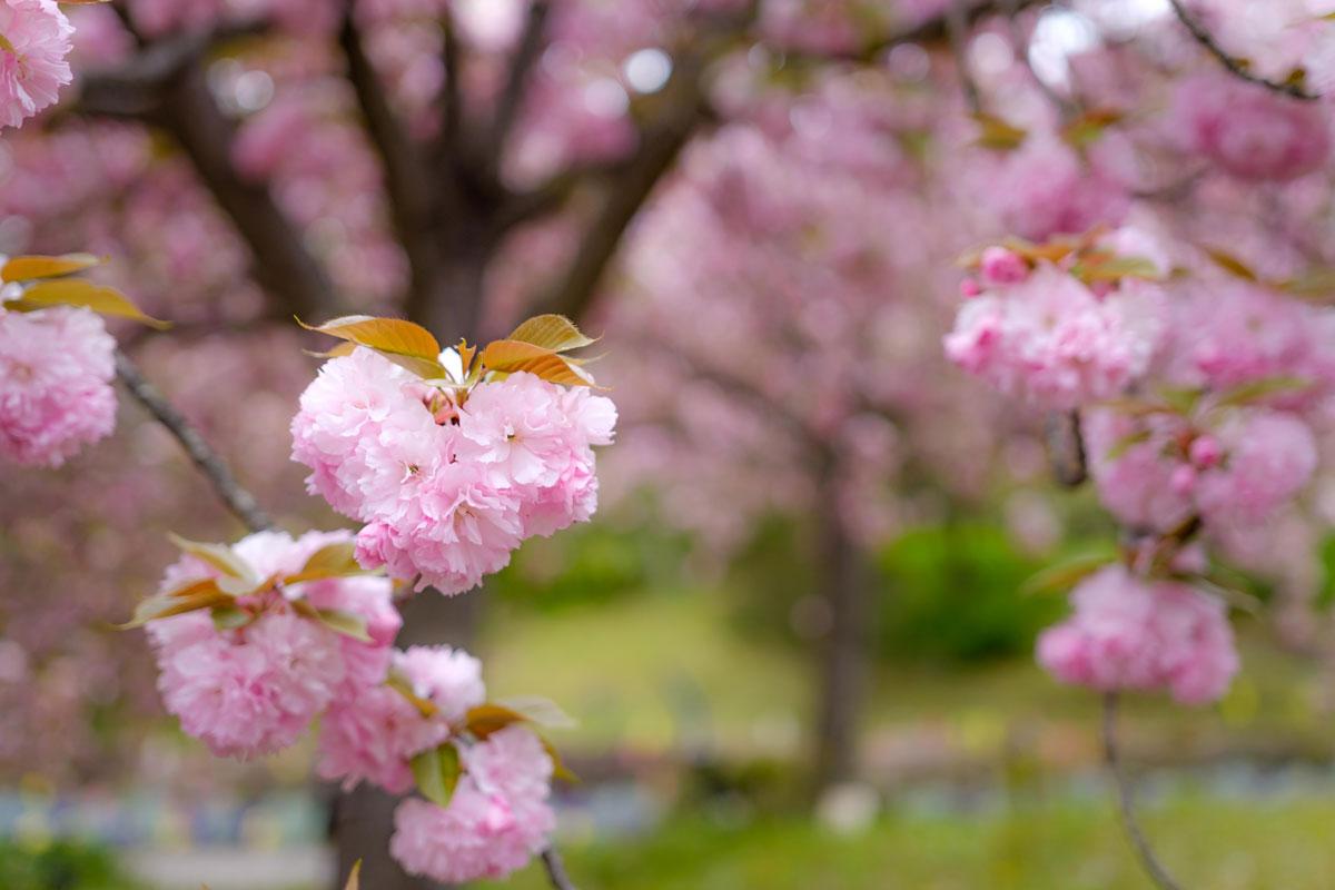 ハートの桜の画像