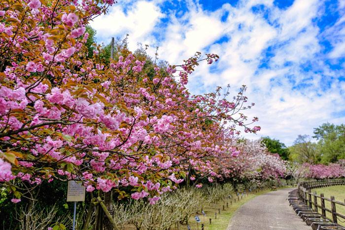 「桜はまだまだ終わりません」の画像