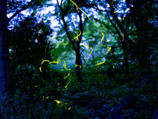 宇治市植物公園の蛍の画像