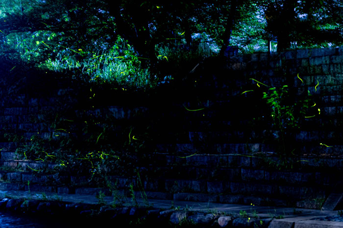 井手町の蛍の画像
