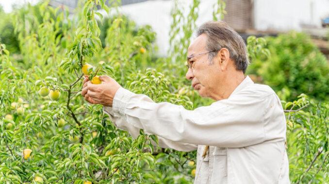 梅の収穫の画像