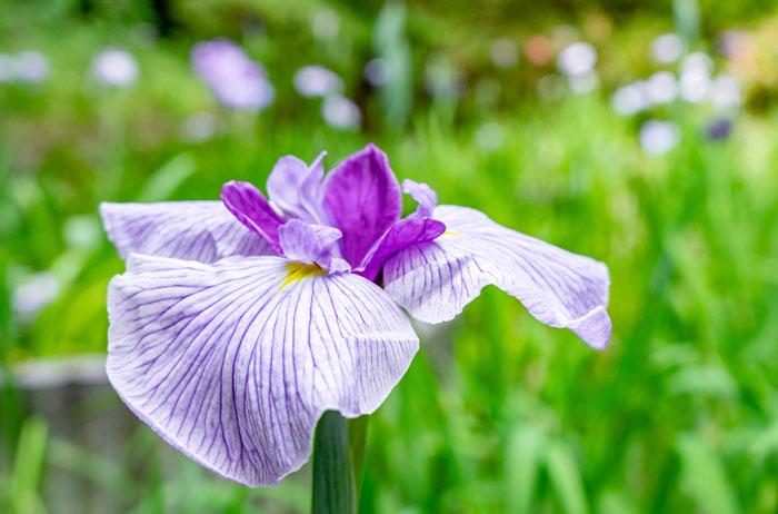 花しょうぶの画像1
