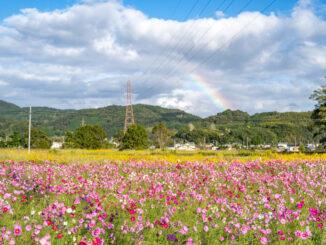 恭仁京コスモス畑2021年の画像